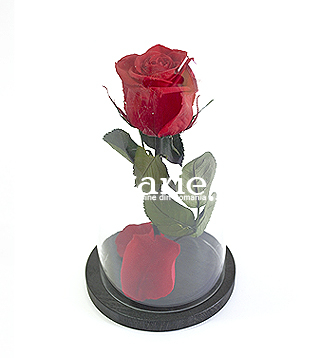 Preserved Rose In Dome